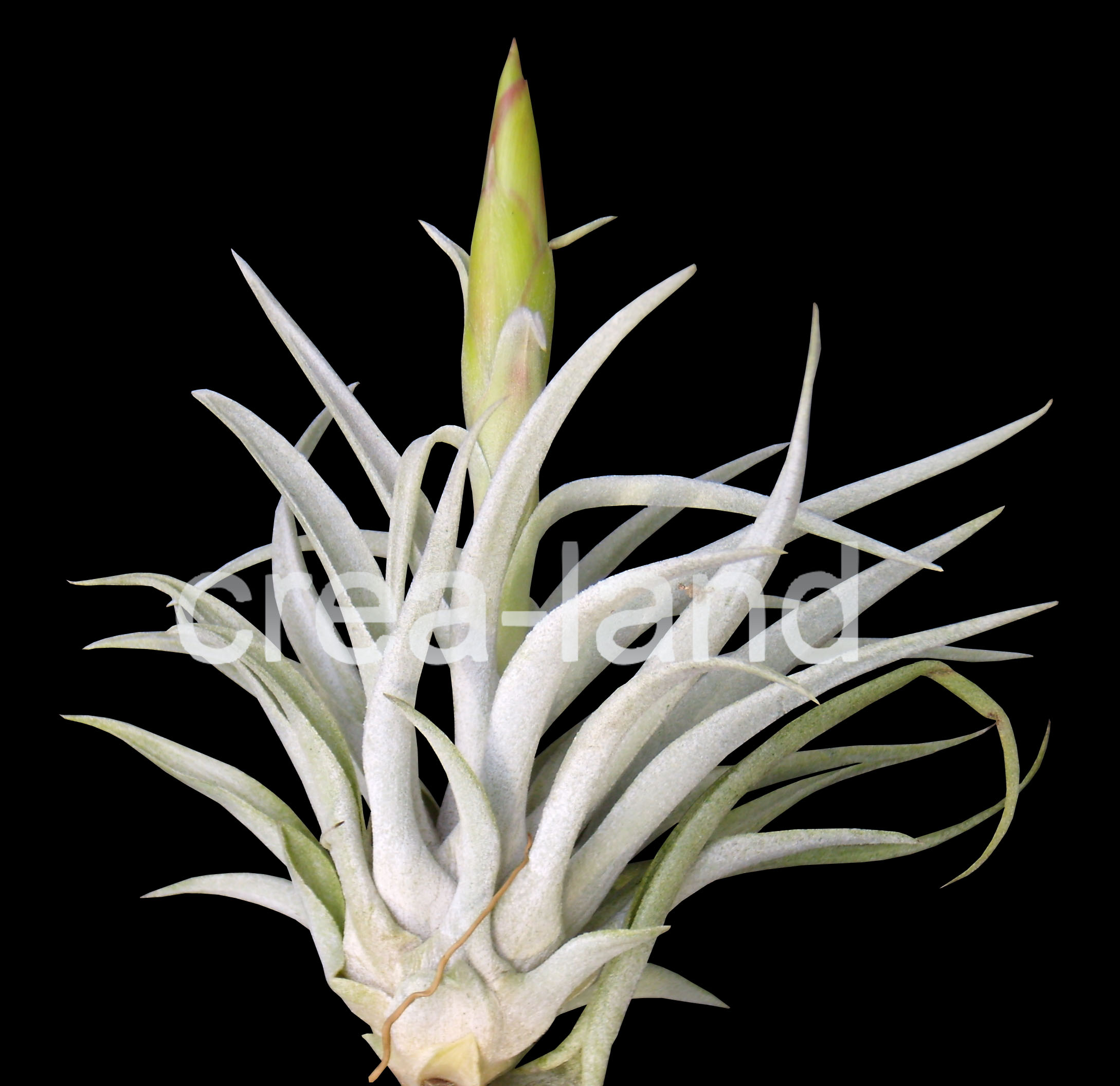 tillandsia plante sans terre jardinage var of plante sans terre. Black Bedroom Furniture Sets. Home Design Ideas
