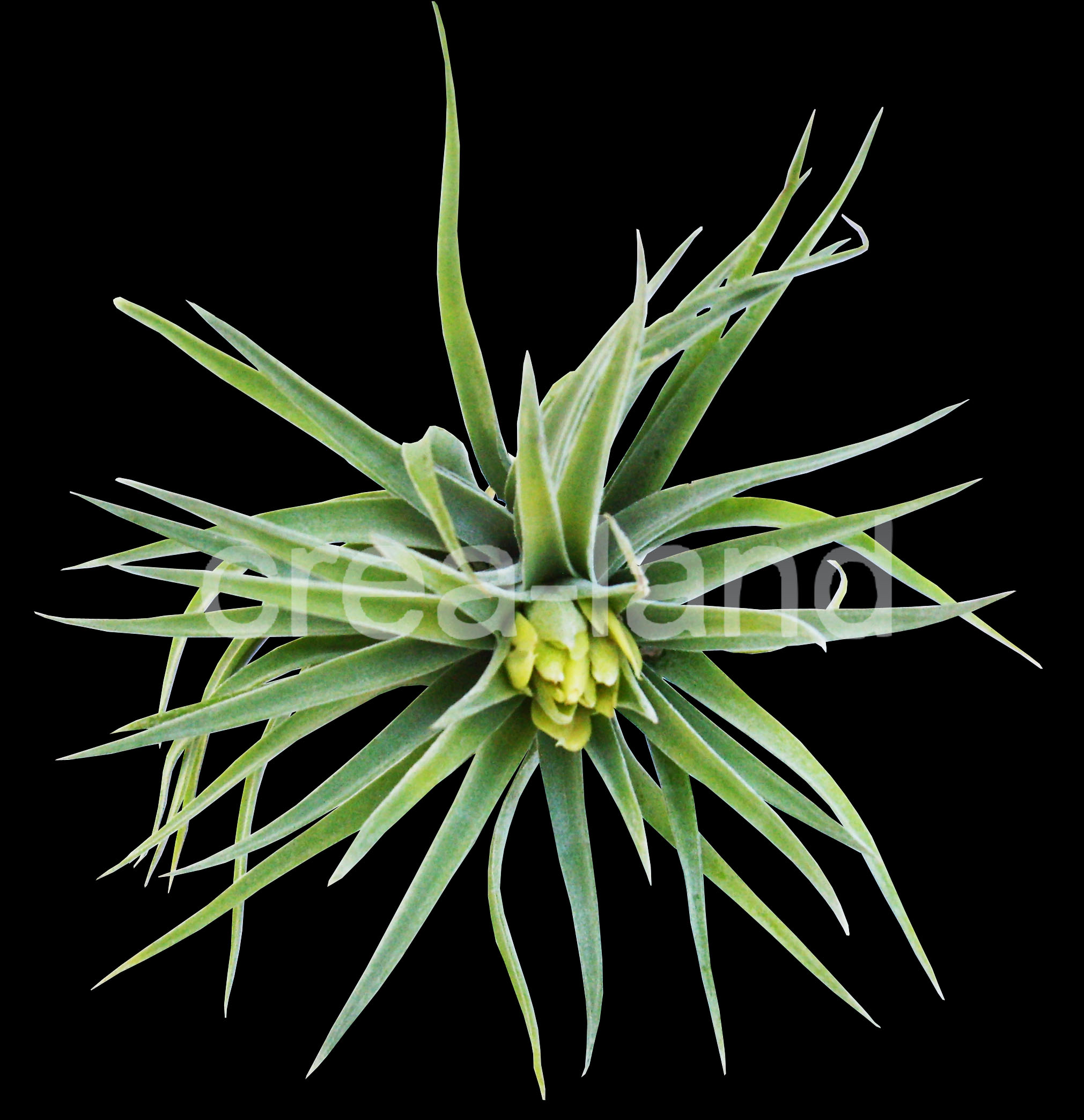 tillandsia plagiotropica plante sans terre entretien et. Black Bedroom Furniture Sets. Home Design Ideas