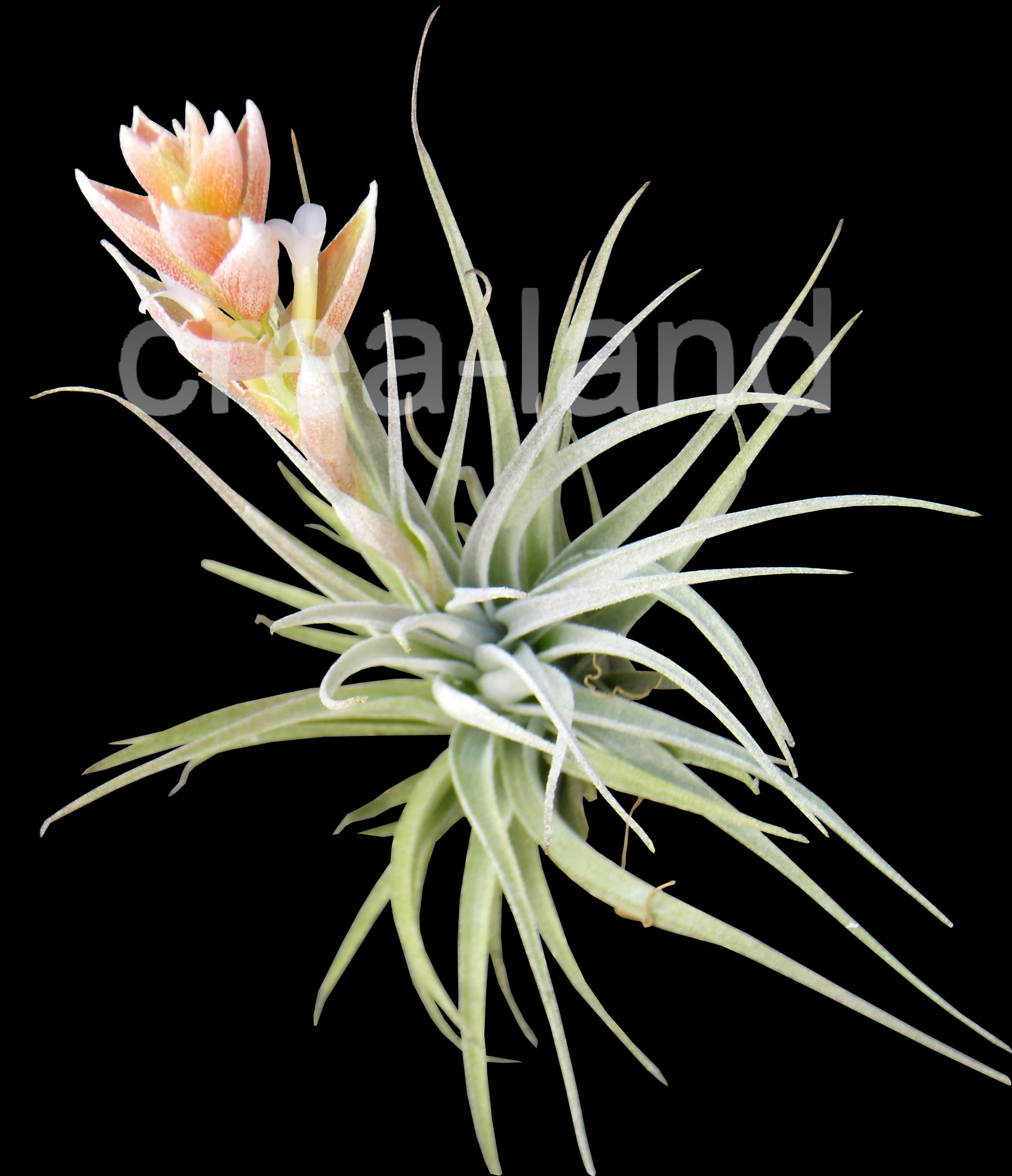 tillandsia pohliana plante sans terre entretien et id es cadeau. Black Bedroom Furniture Sets. Home Design Ideas