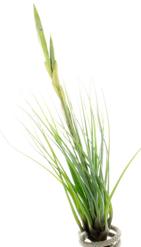 tillandsia tricolor melanocrater plante sans terre entretien et id es d co. Black Bedroom Furniture Sets. Home Design Ideas