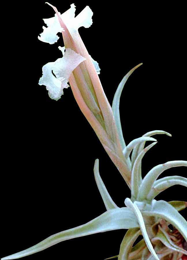 Tillandsia xiphioides plante sans terre entretien et id es d co - Plante vivant sans terre ...
