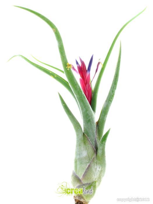 tillandsia caput medusae est une plante sans terre aux formes graphiques. Black Bedroom Furniture Sets. Home Design Ideas