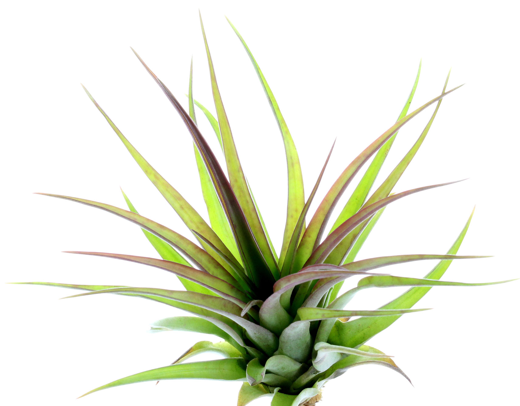 tillandsia brachycaulos abdida plante sans terre dont les feuilles rougissent la floraison. Black Bedroom Furniture Sets. Home Design Ideas