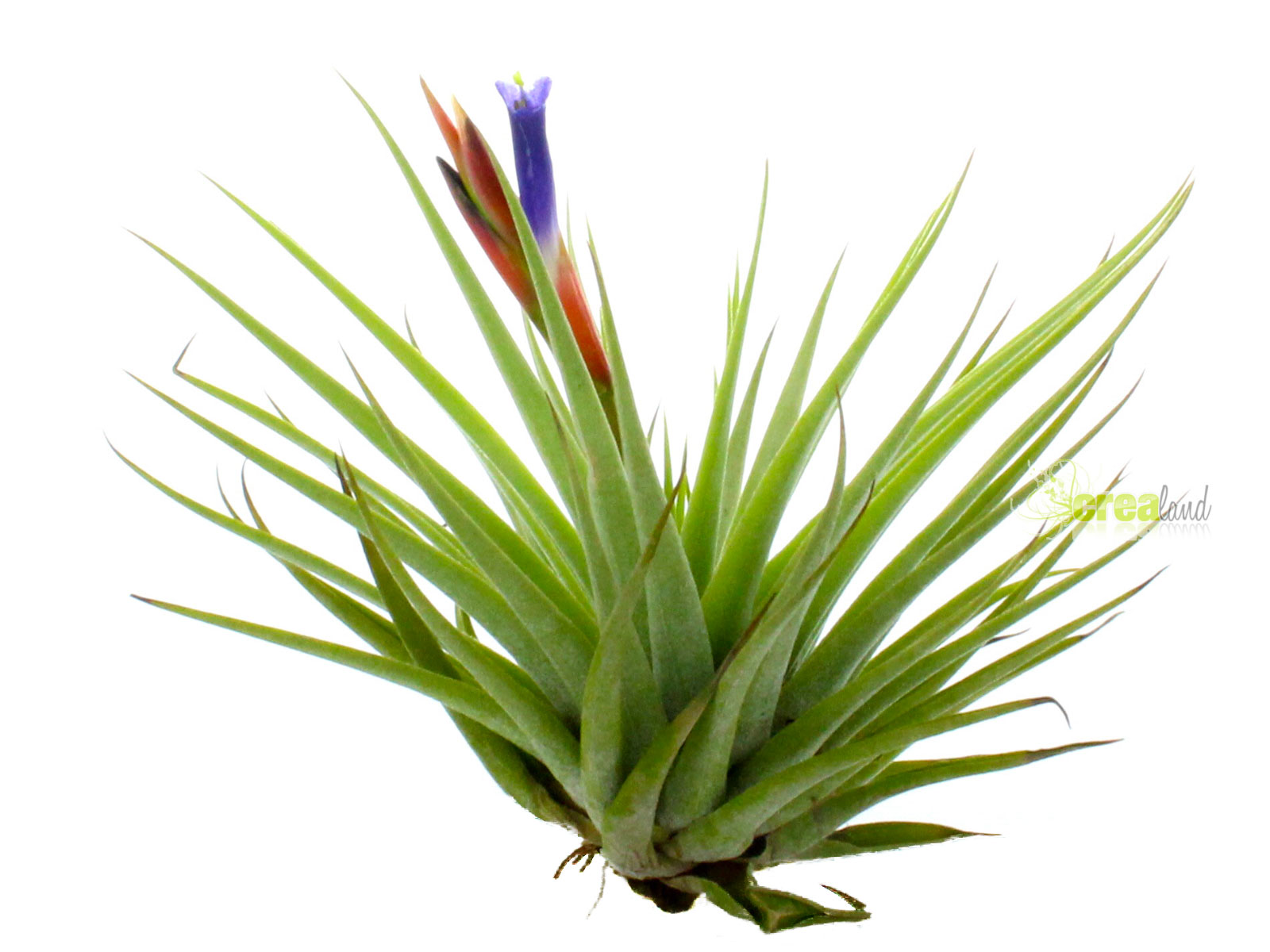 tillandsia espinosae plante sans terre entretien et id es d coration. Black Bedroom Furniture Sets. Home Design Ideas